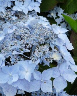 Blue deckle