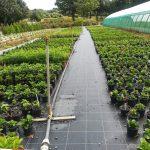 Arrosage des hortensias