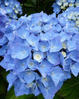 Danube Bleu