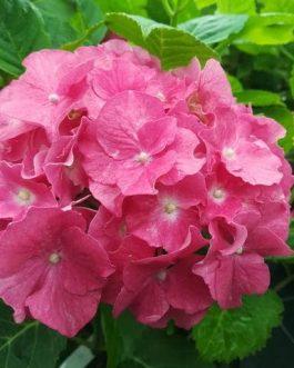 Hatfield rose
