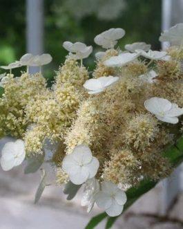 Quercifolia (type)