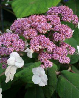 Macrophylla (aspéra)