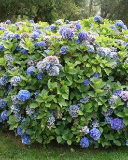 Blau Haller