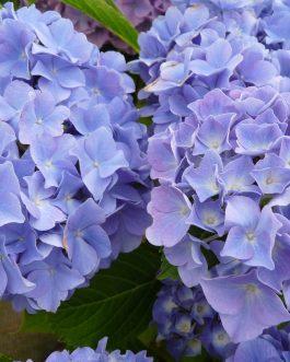 Blauer Zwerg