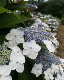 Mariesii Grandiflora
