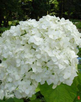 Grandiflora (arboresent)